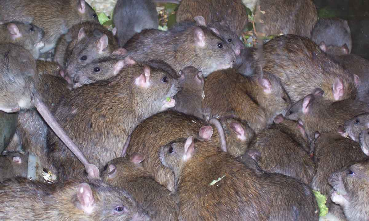 Buy And Kill Rats In Lagos